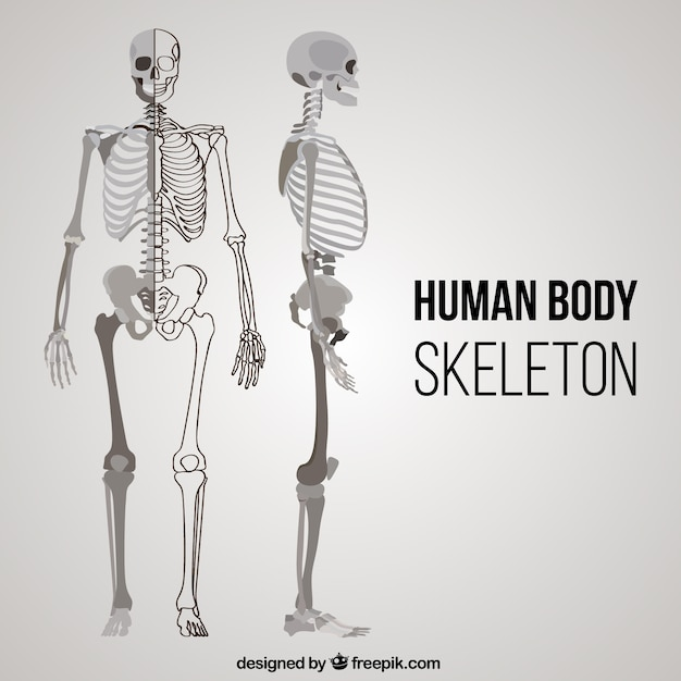 Der menschliche Körper Skelett in verschiedenen Positionen ...
