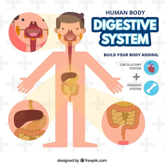 Der menschliche Körper Verdauungssystem | Download der Premium Vektor
