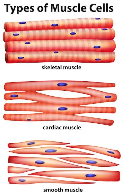 Diagramm, das Arten von Muskelzellen zeigt | Download der Premium Vektor
