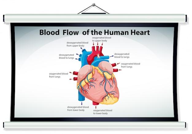 Diagramm, das blutfluß im menschlichen herzen zeigt Kostenlosen Vektoren