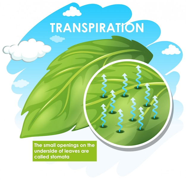 Diagramm, das die transpiration mit der pflanze zeigt Kostenlosen Vektoren