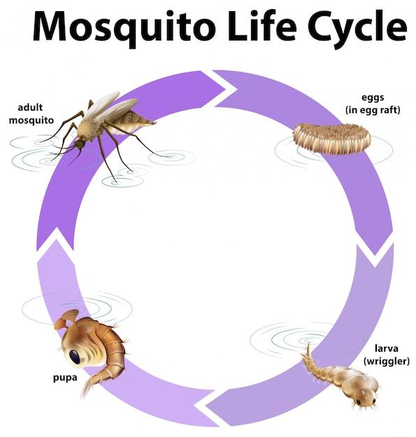 Diagramm, das lebenszyklus des moskitos zeigt Kostenlosen Vektoren
