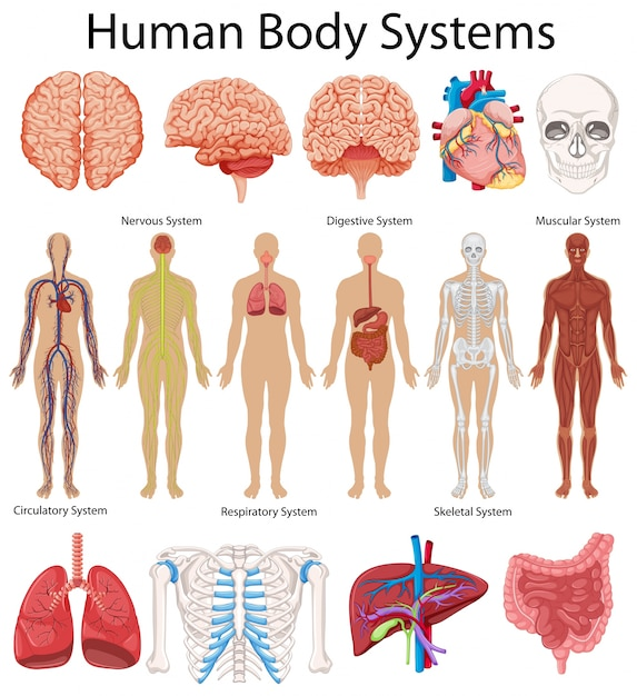 Diagramm, das menschliche Körpersysteme zeigt   Download der Premium ...