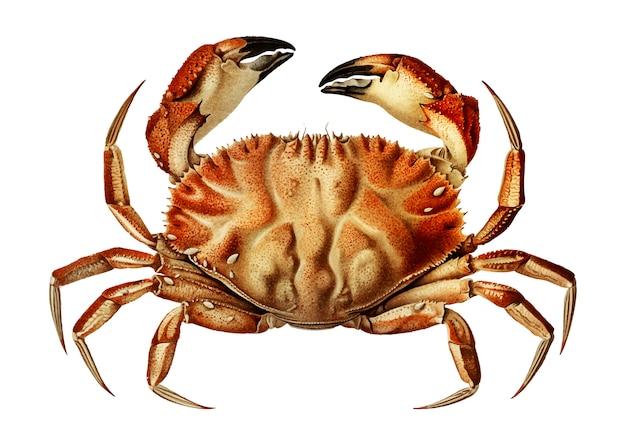 Dungeness krabbe Kostenlosen Vektoren