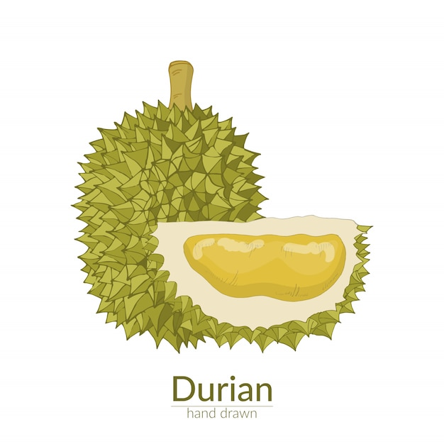 Durian ganz und abgeschnitten. vektor hand gezeichnete illustration Premium Vektoren
