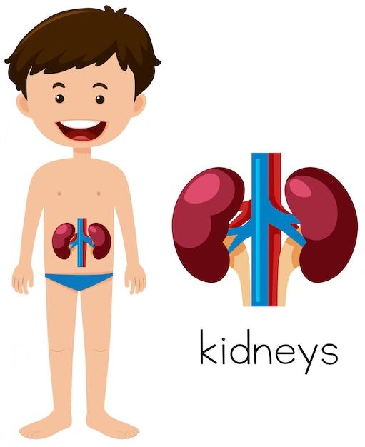 Eine menschliche Anatomie der Nieren | Download der Premium Vektor