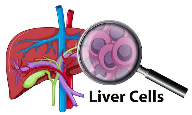 Eine nahaufnahme menschliche leberzellen Premium Vektoren
