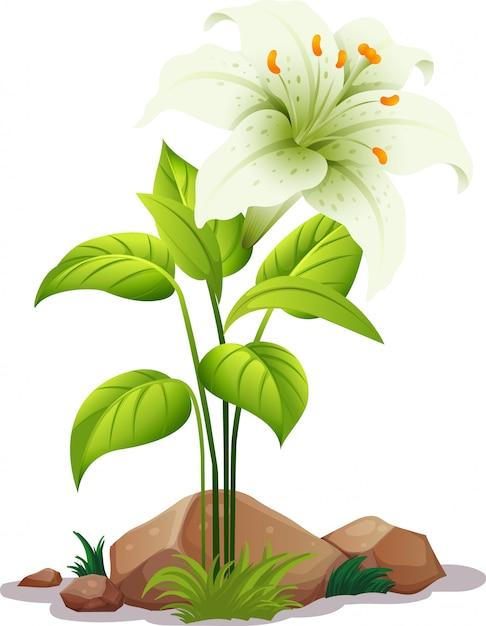Eine weiße lilie mit blättern auf weiß Kostenlosen Vektoren
