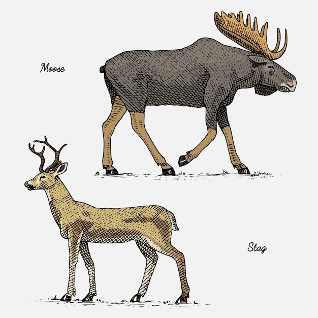 Elch oder eurasischer elch und hirsch oder hirsch, handgezeichnete, gravierte wilde tiere im vintage- oder retro-stil, zoologie-set Premium Vektoren