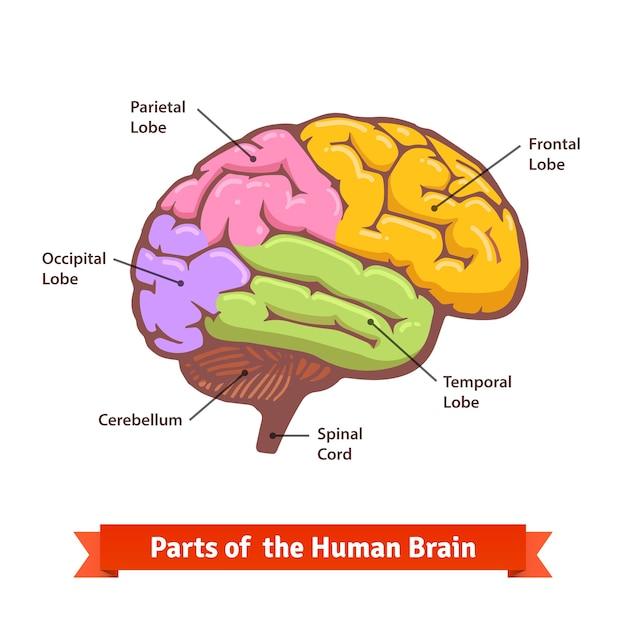 Farbiges und markiertes menschliches gehirndiagramm Kostenlosen Vektoren