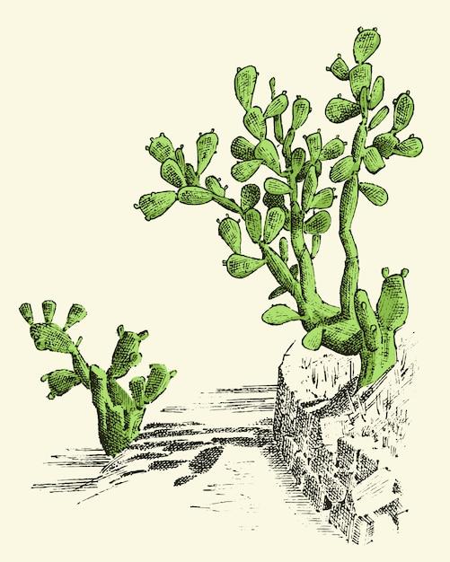 Feigenkaktus. pflanzen graviert hand gezeichnet in alten skizze, vintage-stil. mexikanische opuntie, flora und fauna. botanischer garten. Premium Vektoren