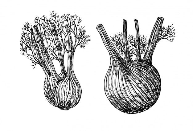 Fenchel. handgezeichnete grafische darstellung. tinte fenchel kräuterillustration. hand gezeichneter botanischer skizzenstil. Premium Vektoren