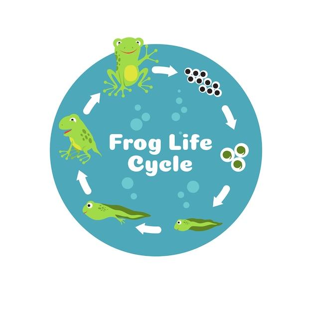 Frosch lebenszyklus. von eiern bis kaulquappe und erwachsenem frosch. pädagogische illustration der kinderbiologie. Premium Vektoren