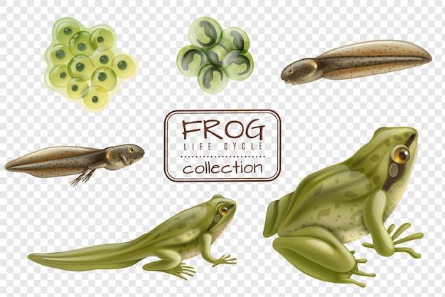 Froschlebenszyklusstadien realistisches set mit adulten tierbefruchteten eiern kaulquappenfrosch transparent Kostenlosen Vektoren