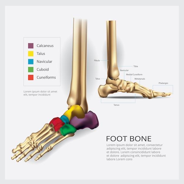 Fuß-knochen-anatomie-vektor-illustration Premium Vektoren