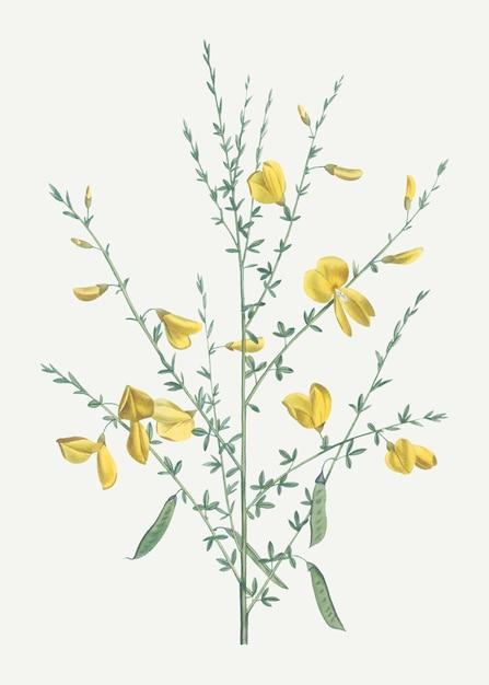 Gelbe besenblüten Kostenlosen Vektoren