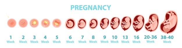 Genese des menschlichen embryos nach wochen. vektorkarikaturillustration. Premium Vektoren