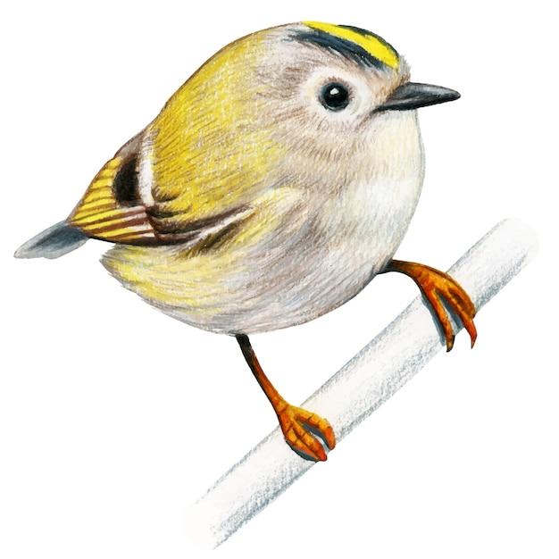 Goldcrest hand gezeichnete vogel aquarell buntstifte Premium Vektoren