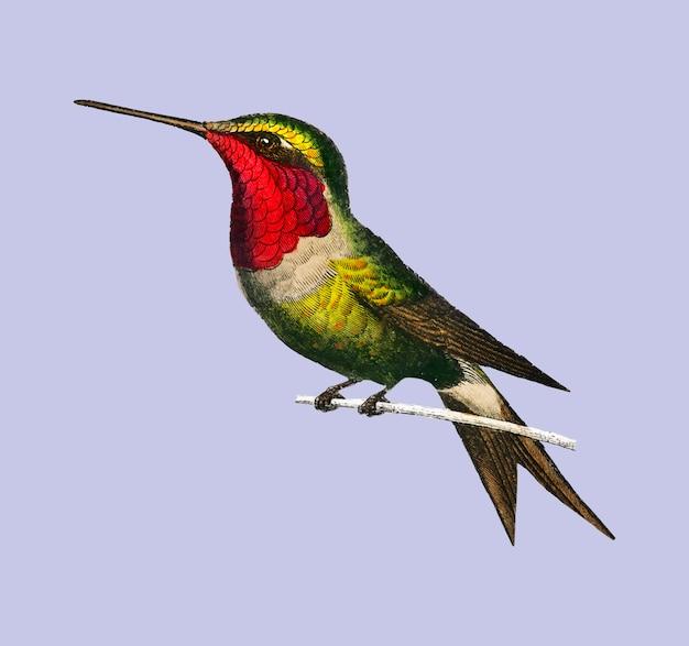 Granat-throated kolibri Kostenlosen Vektoren