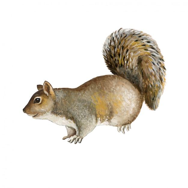 Graues eichhörnchen Premium Vektoren