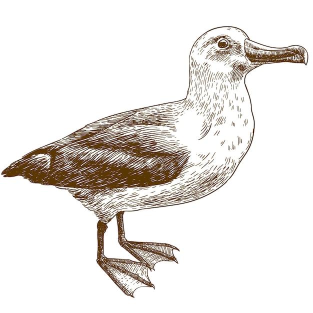 Gravurzeichnung illustration von schwarzbrauen albatros Premium Vektoren