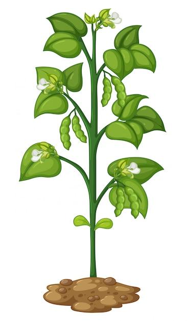 Grüne erbse an der pflanze Kostenlosen Vektoren