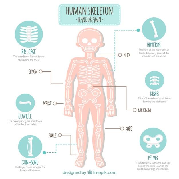 Hand gezeichnet menschlichen Skeletts | Download der kostenlosen Vektor