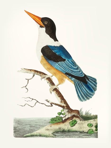 Hand gezeichnet vom schwarz-mit einer kappe bedeckten eisvogel Kostenlosen Vektoren
