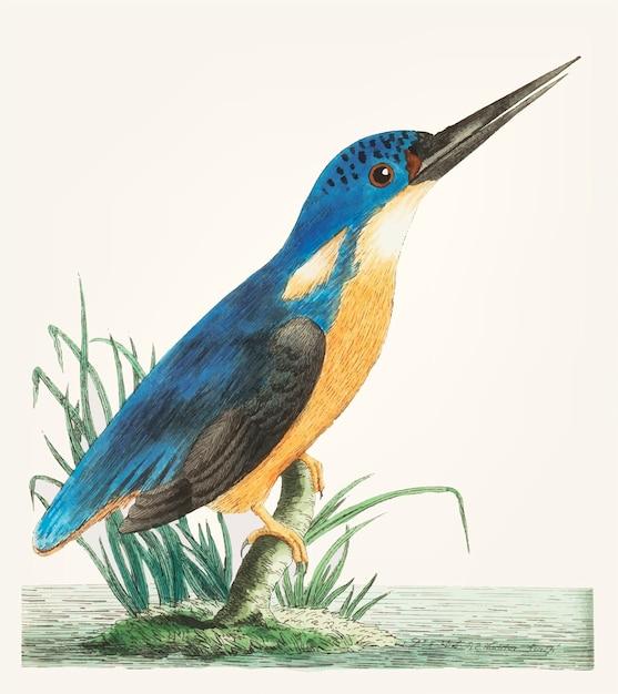 Hand gezeichnet vom tiefen blauen eisvogel Kostenlosen Vektoren