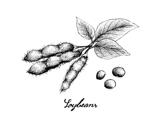 Hand gezeichnet von den köstlichen frischen grünen sojabohnen Premium Vektoren