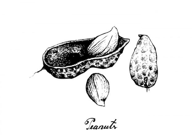 Hand gezeichnet von der erdnuss-anlage Premium Vektoren