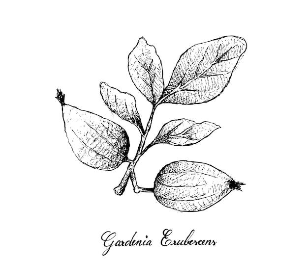 Hand gezeichnet von gardenia erubescens fruits auf baumast Premium Vektoren