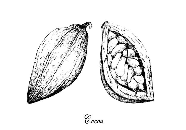 Hand gezeichnet von theobroma-kakaofrüchten auf baum-bündel Premium Vektoren