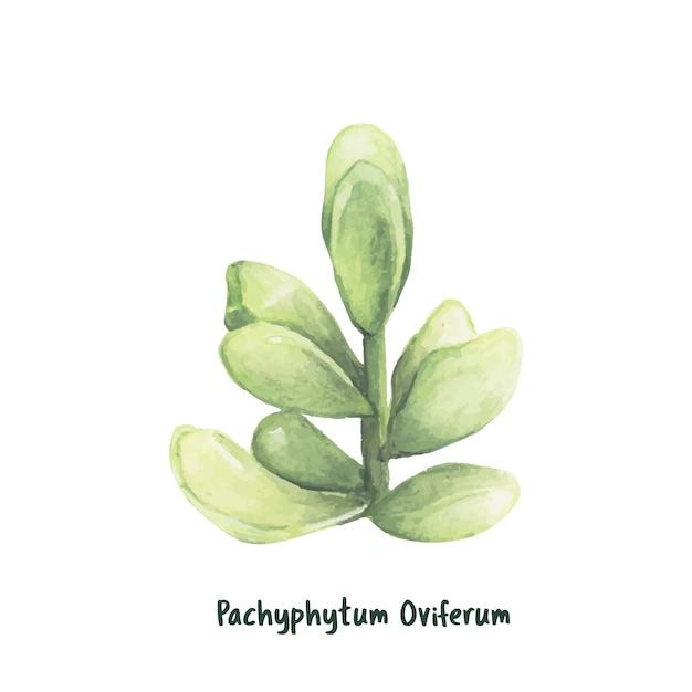 Hand gezeichnete pachyphytum oviferum sukkulenten Kostenlosen Vektoren