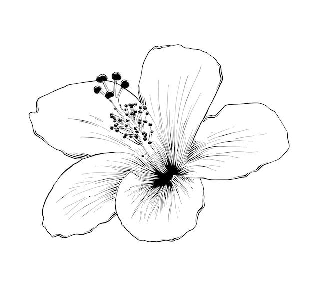 Hand gezeichnete skizze der hawaiischen hibiscusblume Premium Vektoren