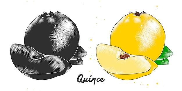 Hand gezeichnete skizze der quittenfrucht Premium Vektoren