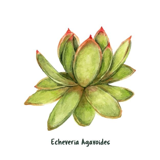 Hand gezeichneter echeveria-agavoides lippenstift succulent Kostenlosen Vektoren