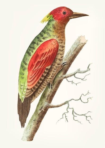 Hand gezeichneter rot-winged specht Kostenlosen Vektoren