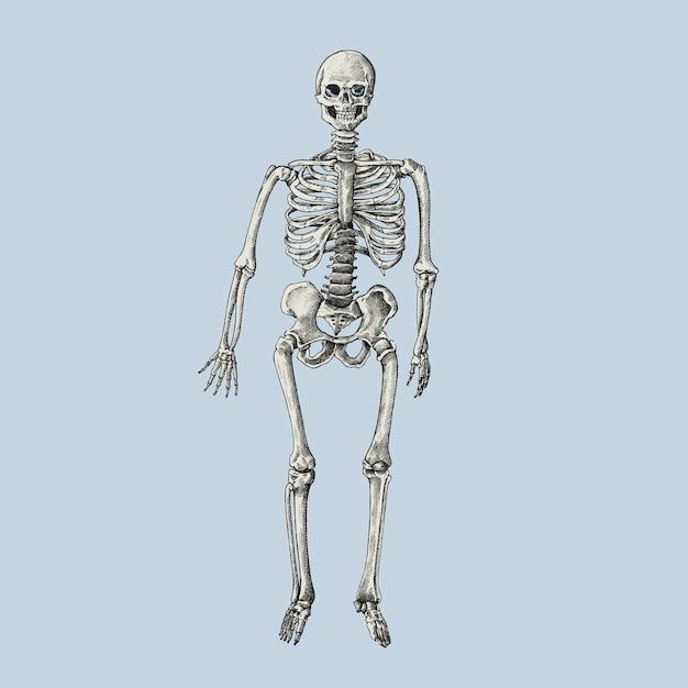 Hand gezeichnetes sktech eines menschlichen Skeletts | Download der ...