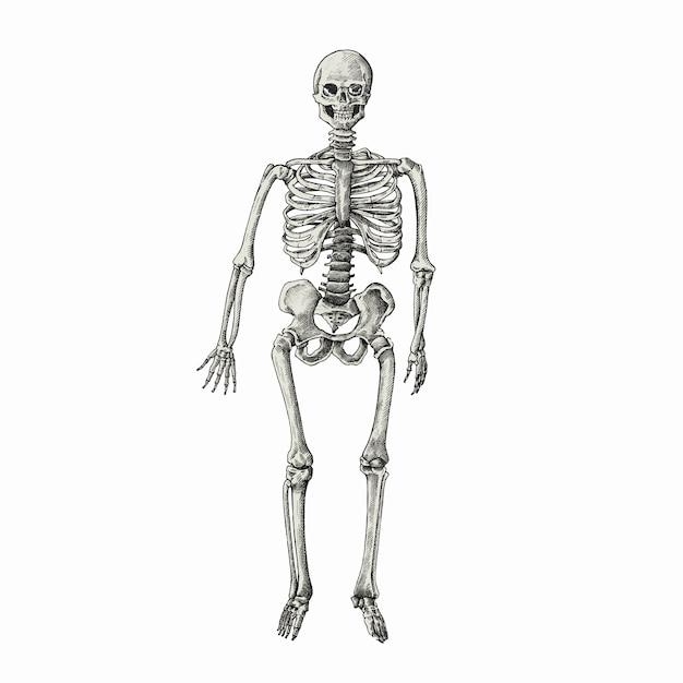 Hand gezeichnetes sktech eines menschlichen Skeletts   Download der ...