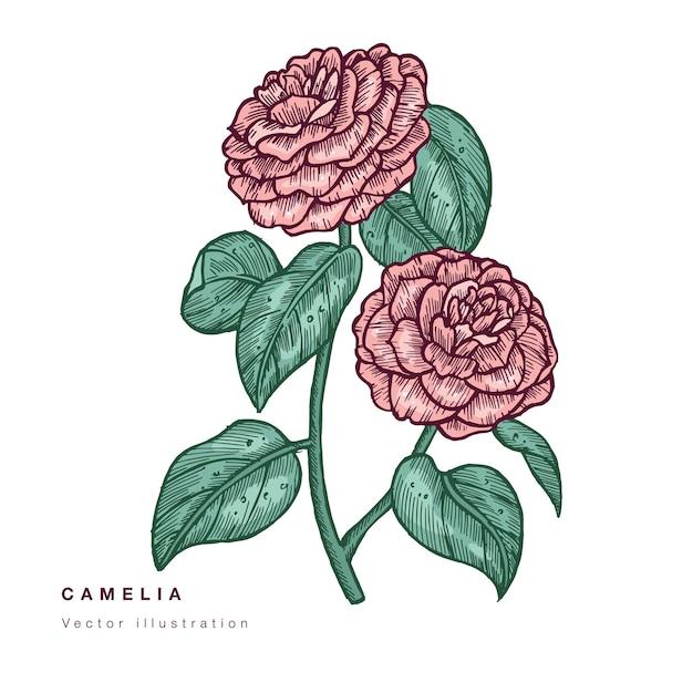 Hand zeichnen kamelienblumen illustration. blumenkranz. botanische blumenkarte auf weißem hintergrund. Premium Vektoren