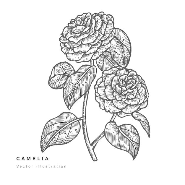 Hand zeichnen kamelienblumen illustration Premium Vektoren
