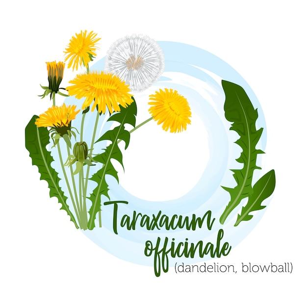 Heilpflanze taraxacum für etiketten Premium Vektoren