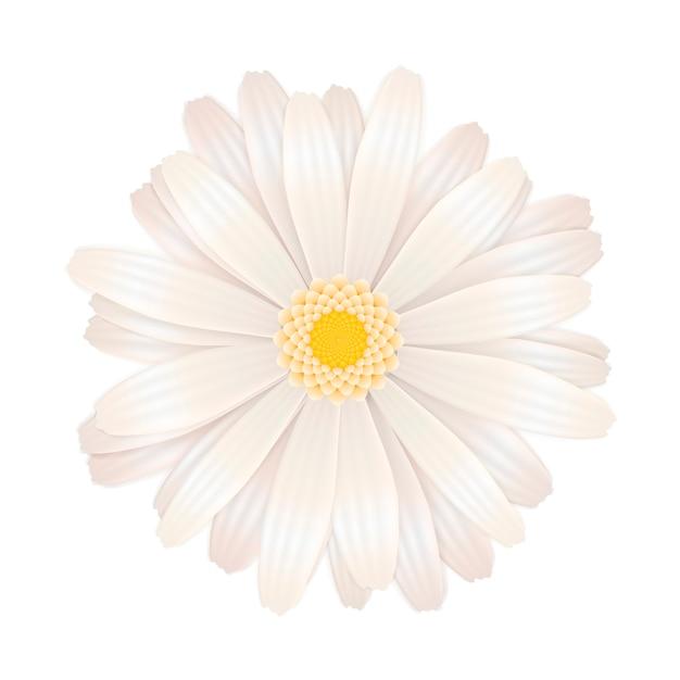 Helle weiße gerberablume auf weiß Premium Vektoren