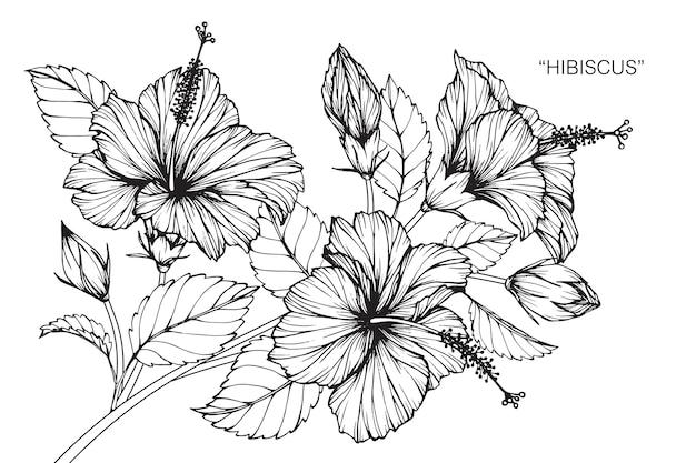 Hibiscus Blume Zeichnung Abbildung | Download der Premium Vektor
