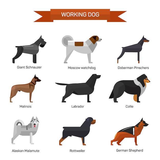 Hunderassen-vektorsatz lokalisiert. illustration im flachen stil design. labrador, malamute, rottweiler, collie, schäferhund. Premium Vektoren