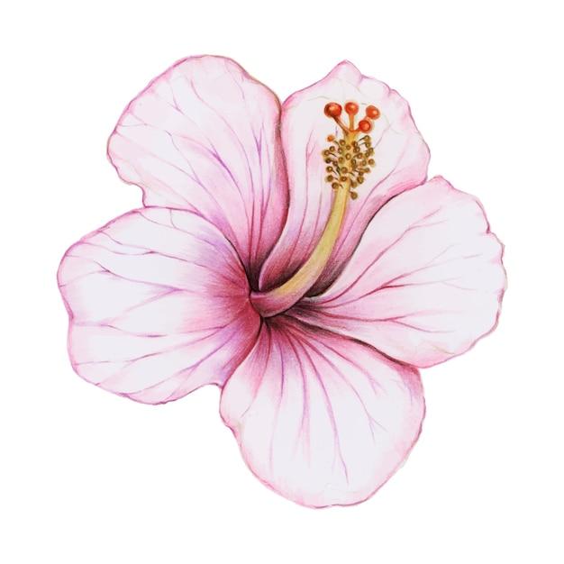 Illustration der hibiscusblumen-aquarellart Kostenlosen Vektoren