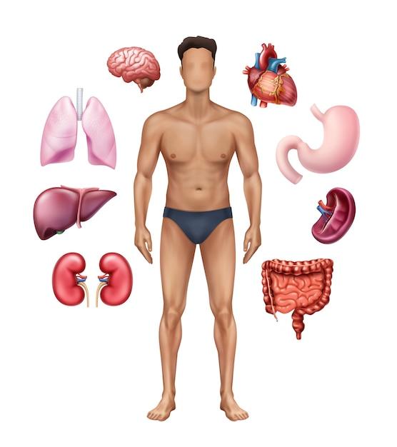 Illustration des medizinischen plakats, das menschliche anatomie mit inneren organen darstellt Premium Vektoren
