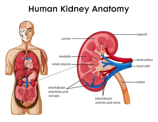 Infografik der karikaturart der menschlichen nierenanatomie Kostenlosen Vektoren