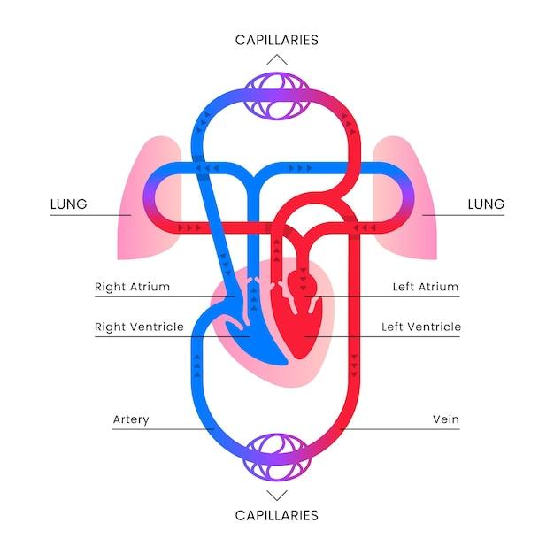 Infografik mit flachem kreislaufsystem Kostenlosen Vektoren